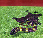 Conceptual illustration of snake wearing off business suit depicting deceit