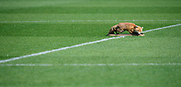 The Carlisle United mascot placed a stuffed fox on the centre spot prior to the game<br /> <br /> Photographer Chris Vaughan/CameraSport<br /> <br /> The EFL Sky Bet League Two - Carlisle United v Lincoln City - Friday 19th April 2019 - Brunton Park - Carlisle<br /> <br /> World Copyright © 2019 CameraSport. All rights reserved. 43 Linden Ave. Countesthorpe. Leicester. England. LE8 5PG - Tel: +44 (0) 116 277 4147 - admin@camerasport.com - www.camerasport.com