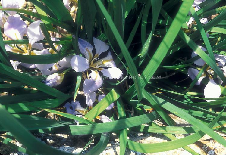 Iris unguicularis Walter Butt, winter flowering fragrant flower