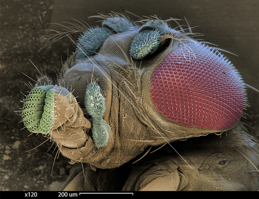 SEM of a mutant fruit fly. Scanning Electron Micrograph (SEM) of the head of a mutant fruit fly (Drosophila melanogaster). This mutant has abnormal head parts due to the ?ant mutation?.  Fruit flies are widely used in genetic experiments, particularly in mutation experiments, because they reproduce rapidly and their genetic systems are well understood.