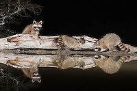 Northern Raccoon (Procyon lotor), adults at night on log, Sinton, Corpus Christi, Coastal Bend, Texas, USA