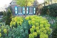 """Jardin de la Ferme du Mont des Récollets: """"La cour d'Eté"""" contre le pignon de la maison avec planté sur gravier, aubépine,tulipes, Euphorbia characias ssp. wulfenii et ifs taillés en cônes. // France, garden of Ferme du Mont des Récollets, """"La cour d'Eté"""" against the gable of the house with planted on gravel, hawthorn, tulips, Euphorbia characias ssp. wulfenii yews."""