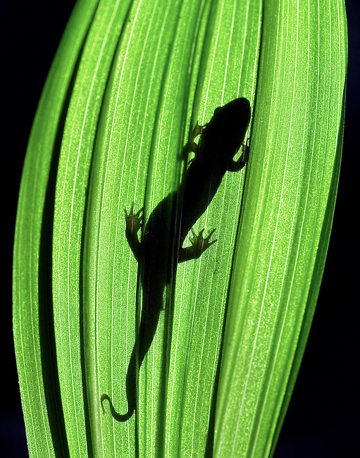 """SALAMANDER SILHOUETTE"" -- A salamander basks in the sun on a clear spring day in Great Smoky Mountains National Park. The park is located on the border of North Carolina and Tennessee in the southern Appalachian mountains."