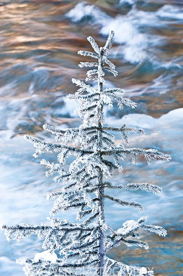 Spruce tree, Jasper National Park, Alberta, Canada
