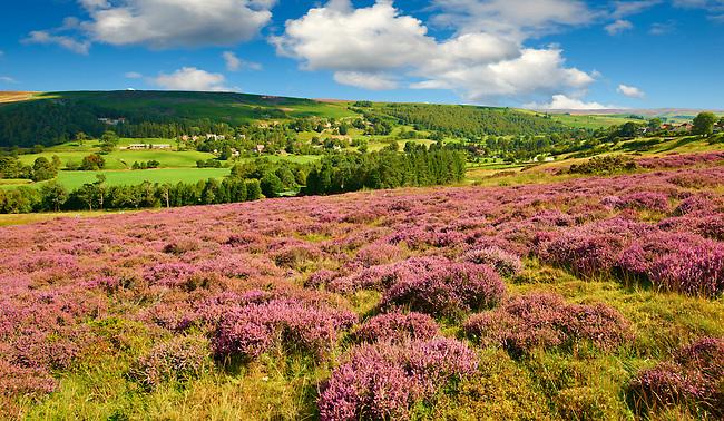 Heather blooming on the Eskdale valley moor. Castleton , Eskdale, North Yorks National Park, North Yorkshire, England