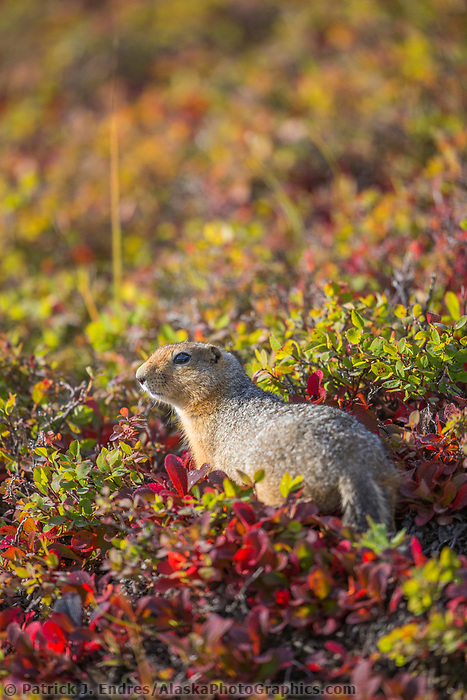 Arctic ground squirrel on the autumn tundra, Denali National Park, Interior, Alaska.