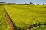 Tea Plantations carpet the hillsides in <br /> Western Uganda