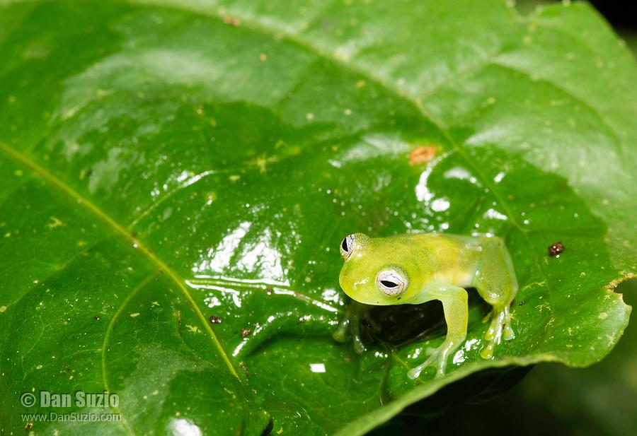 Emerald Glass Frog, Espadarana prosoblepon, on a leaf at Tirimbina Biological Reserve, Costa Rica