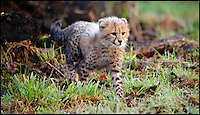 BNPS.co.uk (01202 558833)<br /> Pic: CalebHall/Longleat/BNPS<br /> <br /> Poppys explore her outdoor paddock for the first time.<br /> <br /> A rare pair of cheetah cubs have ventured outside for the first time at Longleat Safari Park.<br />  <br /> Thirteen-week-old cubs Poppy and Winston, who were named by the public, are the first to have been born at the Wiltshire wildlife attraction, which celebrates its 50th anniversary this year.<br />  <br /> The pair, both still sporting Mohican-style juvenile fur, were allowed outside to explore their paddock under the watchful eye of mum Wilma.