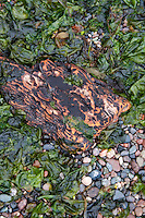 Beach Detail, Jones Island, San Juan Islands, Washington, US