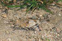 Blauflügelige Sandschrecke, Blauflüglige Sandschrecke, Weibchen bei der Eiablage, Sphingonotus caerulans, Slender blue winged grasshopper, Slender Blue-winged Grasshopper, female