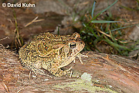 0602-0922  Fowler's Toad, Anaxyrus fowleri [syn: Bufo fowleri (Bufo woodhousii fowleri)]  © David Kuhn/Dwight Kuhn Photography
