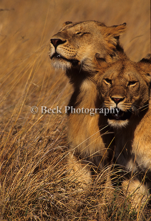 A pair of female lions