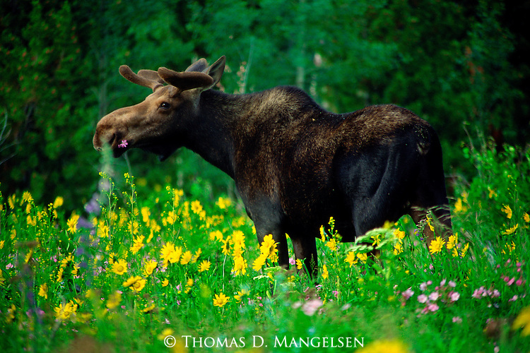 With his new growth of velvet antlers, a bull moose raises his head from a field of wildflowers to take in an alpine summer paradise in Grand Teton National Park, Wyoming.