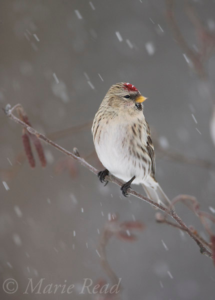 Common Redpoll (Carduelis flammea), female perched in alder during snowstorm, New York, USA