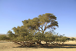 Israel, Arava, Acacia Raddiana at Hai Bar, the National Biblical Wildlife Reserve