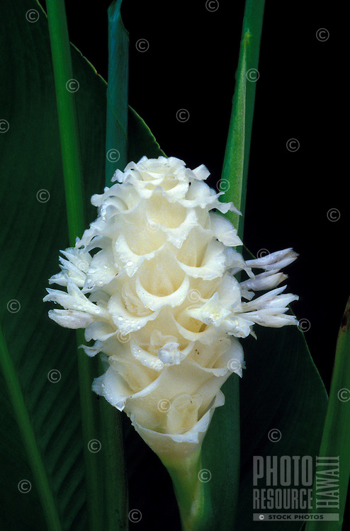 A bract of White Ice calathea (Calathea cylindrica) and foliage against a black background