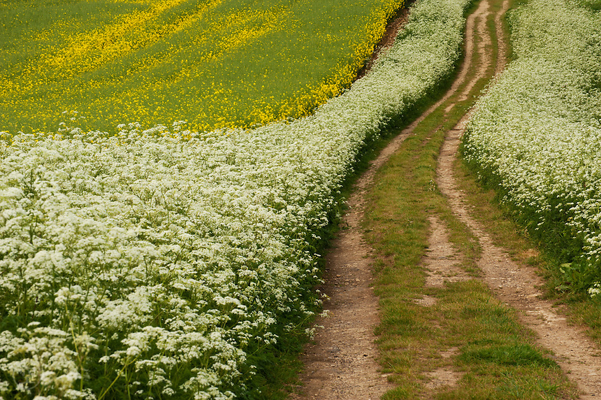A country road runs through a field of yellow flowers bordered in white cow parsley.