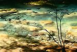 Vine maple, Ohanapecosh River, Mt. Rainier National Park, Washington, USA