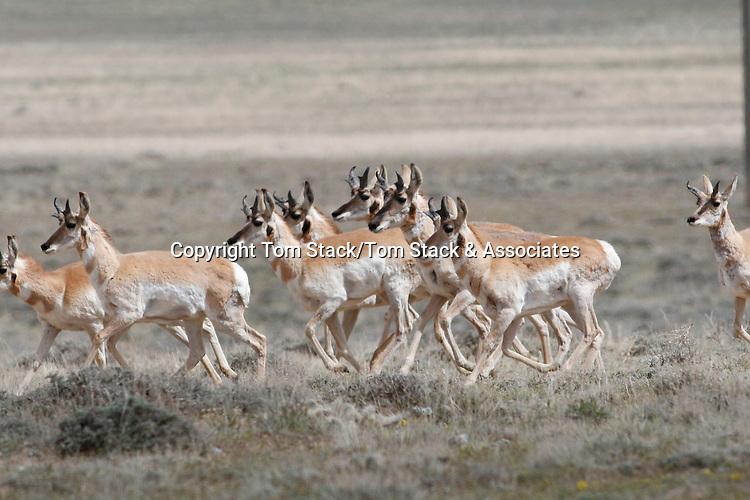 Pronghorn Antelope, Antilocapra americana, herd in the Red Desert of Wyoming
