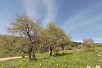 Israel, Lower Galilee. Oak trees by Zippori forests scenic road