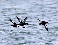 Adult black guillemots flying