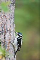 Downy woodpecker feeding on bugs in the bark of a quaking aspen tree, Fairbanks, Alaska