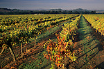 Morning light on vineyards near Geyserville, Alexander Valley, Sonoma County, California