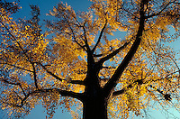 Bright, golden yellow autumn leaves on a tree with dramatic dark limbs. View looking up at fall foliage in contrast with the sky. tree, fall leaves. Georgia.