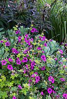 Purple flowering Geranium x procurrens 'Ann Folkard' with Sedum 'Autumn Joy' in front of Veronicastrum virginicum 'Fascination' foliage in Gary Ratway garden