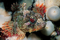 Red irish lord, Hemilepidotus hemilepidotus, is commonly found resting on the bottom among anemones and soft corals, British Columbia, Pacific Ocean