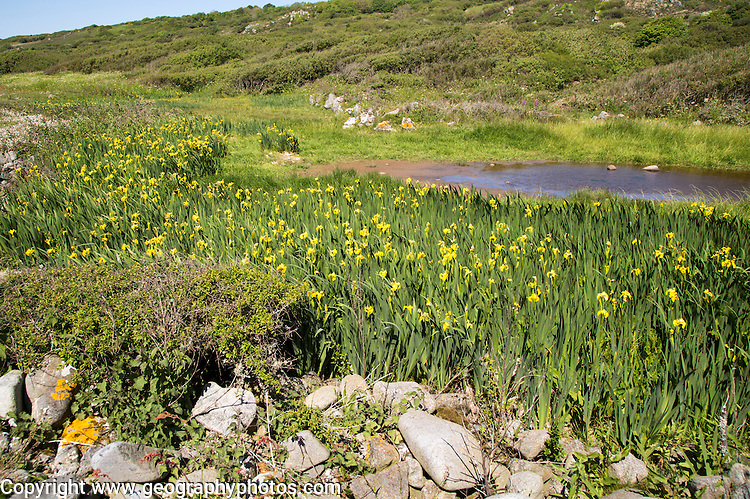 Wildflowers growing near Lowland Point, Coverack, Lizard Peninsula, Cornwall, England, UK