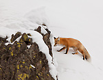 An individual red fox walks toward its den among the snow covered rocky hillside in Yellowstone National Park.
