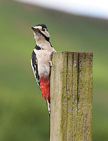 Great spotted woodpecker (Dendrocopos major) on a fence post . Whitewell, Lancashire.