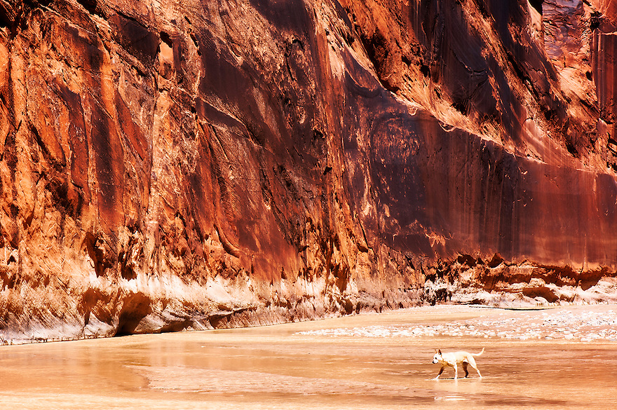 A dog wades in the Paria River in northern Arizona.
