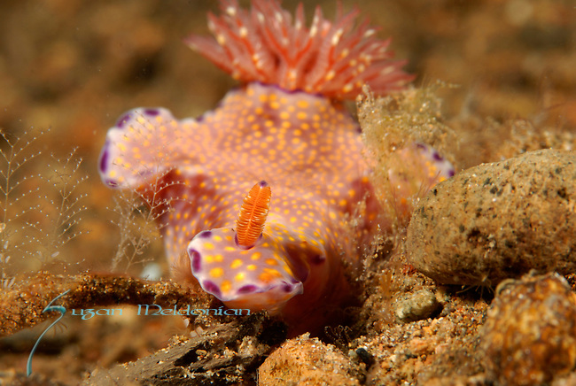 Ceratosoma-Single Rhinophore, Three Lobed T-Bar Nudibranch, Ceratosoma trilobatum