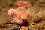Ceratosoma-Single Rhinophore, Three Lobed T-Bar Nudibranch, Ceratosoma trilobatum