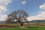 Israel, the Lower Galilee. Atlantic Pistachio (Pistacia Atlantica) tree in Beth Natofa valley