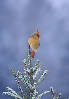Northern Cardinal, female, Lumberton, New Jersey