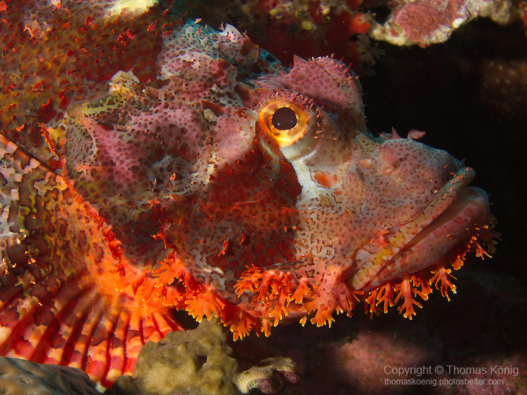 Dragon Gate Rock Reef (Long Men Yan Jiao), Green Island -- Colorful red scorpionfish waiting for prey.