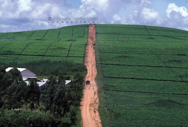 ZIMBABWE - Chipinge, piantagioni di te'.ZIMBABWE - Chipinge, Tea plantations..