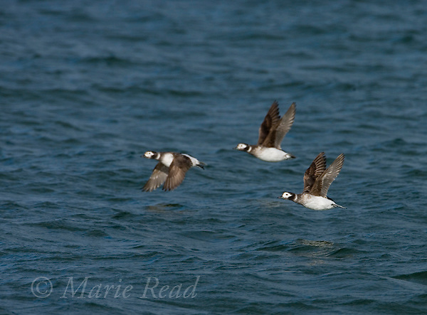 Long-tailed Ducks (Clangula hyemalis) three in flight, Barnegat Inlet, New Jersey, USA