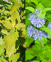 Caryopteris 'Hint of Gold' in blue flowers in late summer/early autumn bloom and spring yellow leaves, composite picture