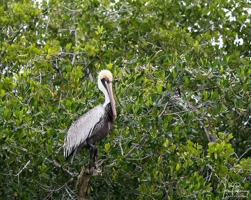 A Brown Pelican, Pelecanus occidentalis, perched in a mangrove tree in the Ria Lagartos Biosphere Reserve, a UNESCO World Biosphere Reserve in Yucatan, Mexico.