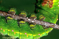 LE10-041x  Luna Moth -feet of luna caterpillar - Actias luna