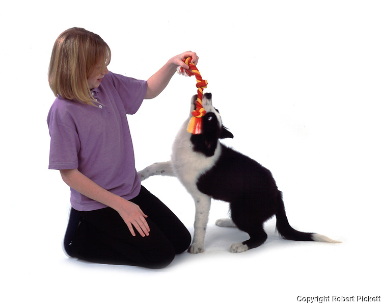 Young girl, playing with ragger toy and  puppy border collie dog, 12 years old, studio, white background, cut out, pet, domestic