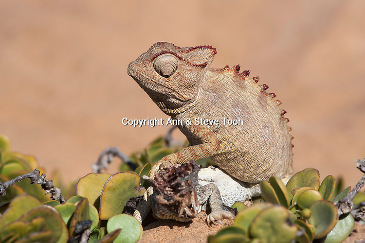 Namaqua chameleon (Chamaeleo namaquensis) with remains of rival male killed in fight, Namib desert, Namibia, Africa (May 2013)