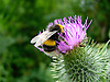 A Bee feeding on a Thistle flower on the South Downs, West Sussex, UK<br />