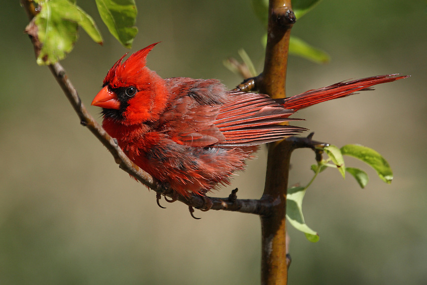 The common and familiar Northern Cardinal is a bird whose range has expanded northward in the last 100 years.