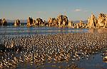 Wilson's Phalaropes (Phalaropus tricolor) flock at South Tufa, Mono Lake, California, USA.